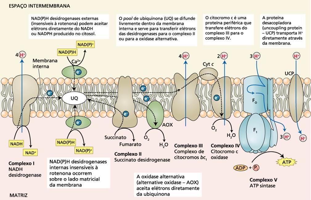 localização celular da cadeia de transporte de elétrons