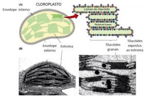 Tilacoides