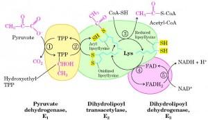 complexo desidrogenase do piruvato