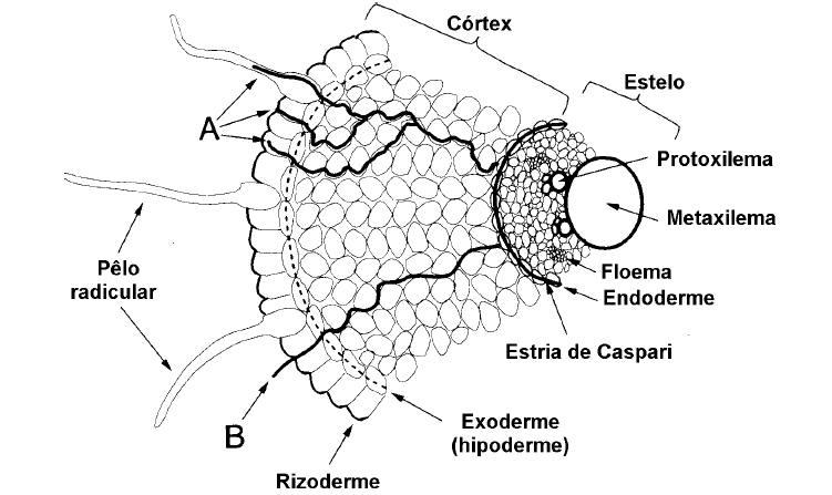 9cb98e7620a Figura1  Rotas do movimento de íons da superfície radicular até o xilema.  (A) Rota simplástica  (B) Rota apoplástica. ( Bonato