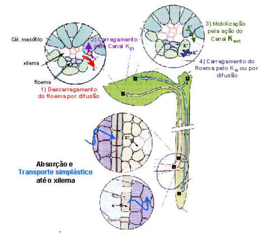 7db8f231fd1 Figura 3  Transporte de potássio da raiz a folha através do xilema